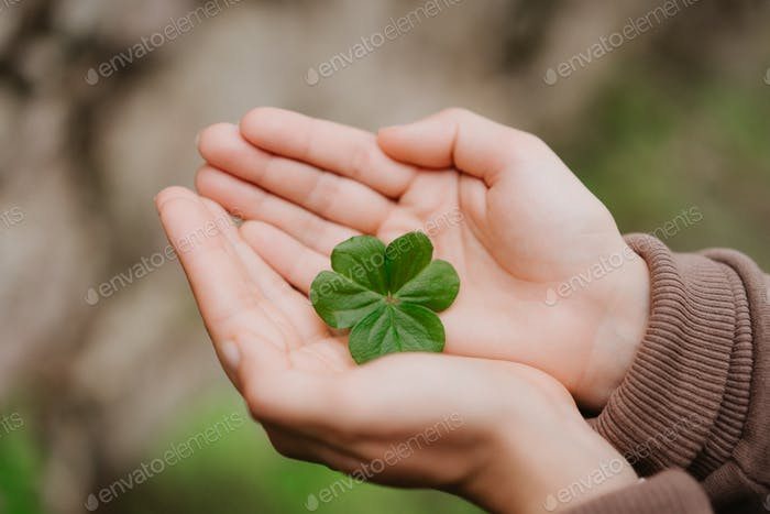 Holding a clover leave on the in female hand palms. Concept of luck