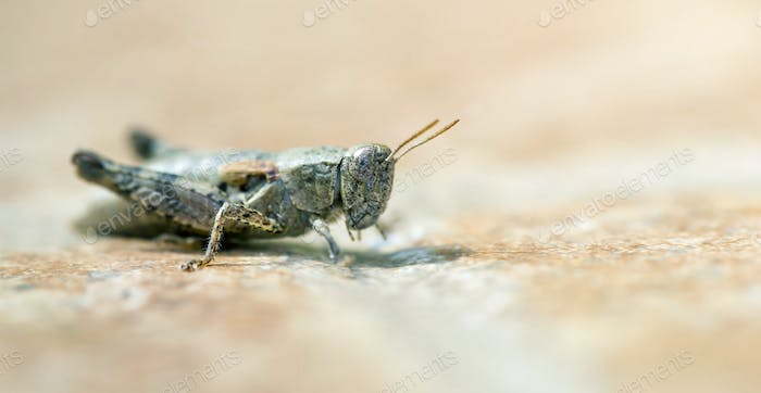 Brown locust resting on the ground