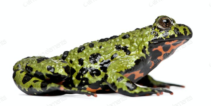 Oriental Fire-bellied Toad, Bombina orientalis, in front of white background