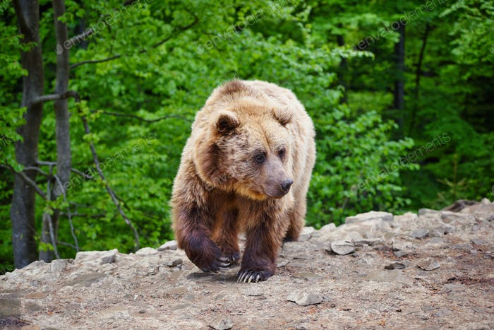 Young brown bear in the summer forest.