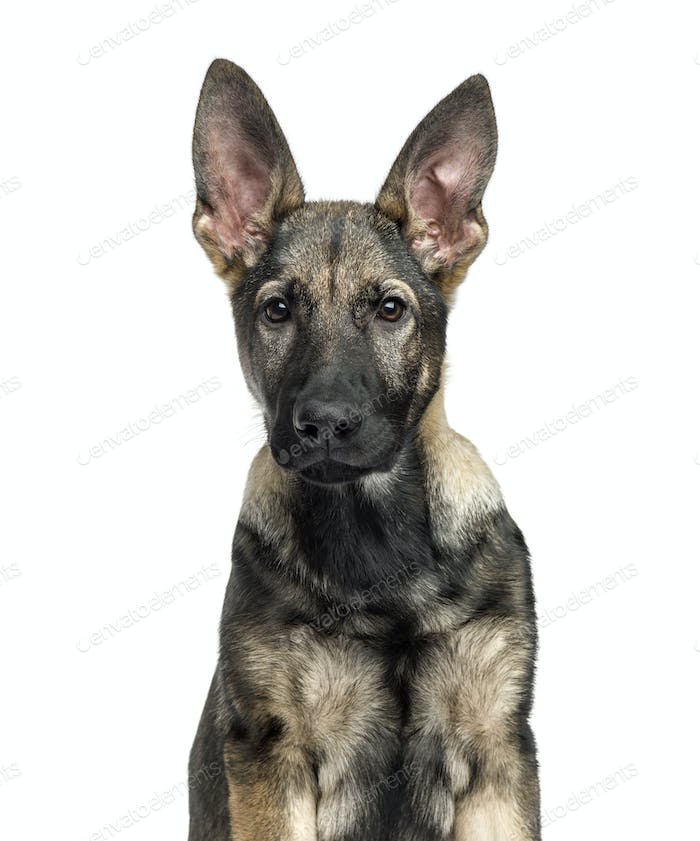 Close-up of a German Shepherd, 4 months old, isolated on white