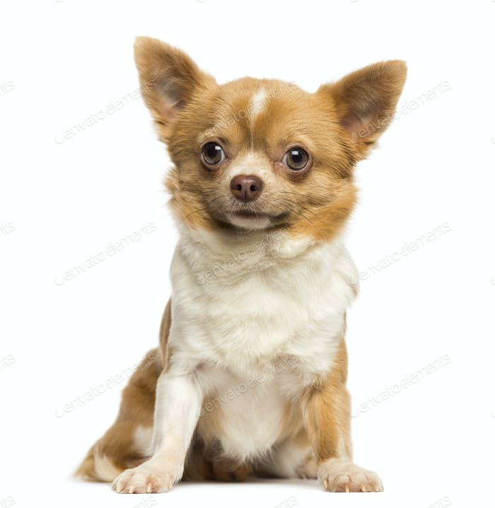 Sitting Chihuahua, 2 years old, isolated on white