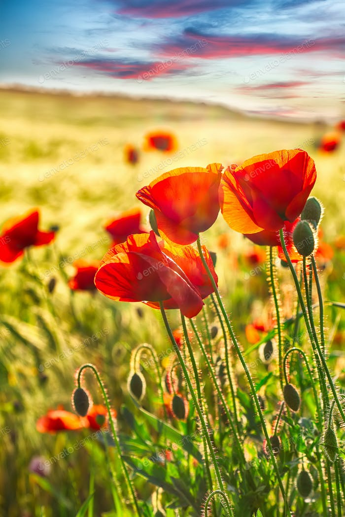 Sunny shoot of bright poppies