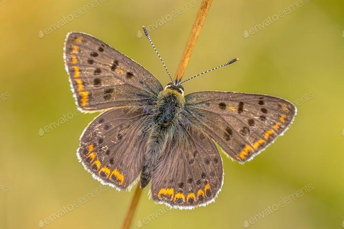 Sooty copper butterfly