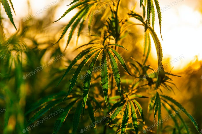 Green bushes of marijuana. Close up view of a marijuana cannabis bud
