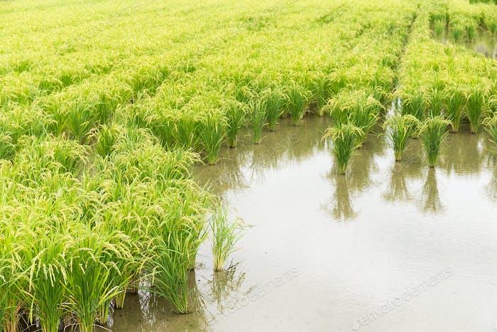 Reis Wiesenernte