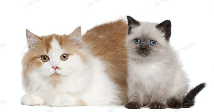 British Shorthair kitten (2 months old), British Longhair (5 mon