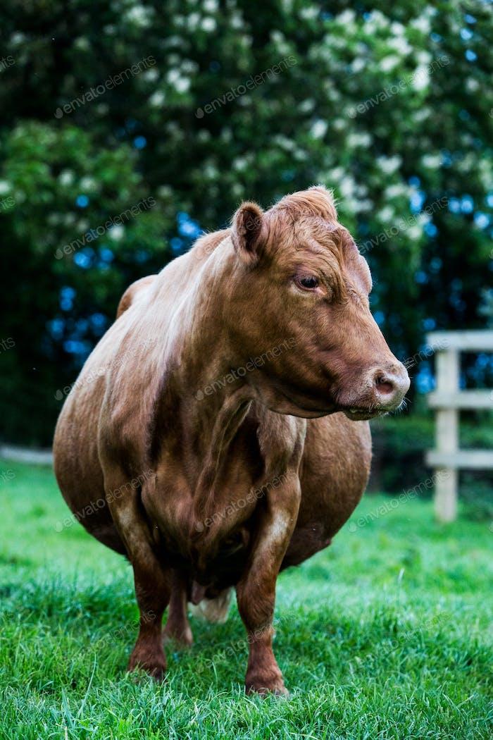 Braune Kuh steht auf einer Hofweide.