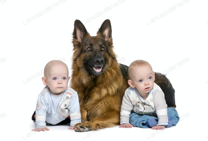 German shepherd dog, 2 years old, with 2 twins boys, 6 months old, in front of white background