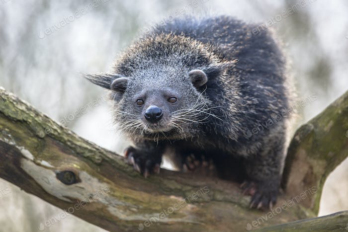 Binturong or bearcat on a tree
