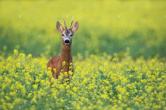 Roe deer buck standing on a flowery rape field with yellow flowers in summer