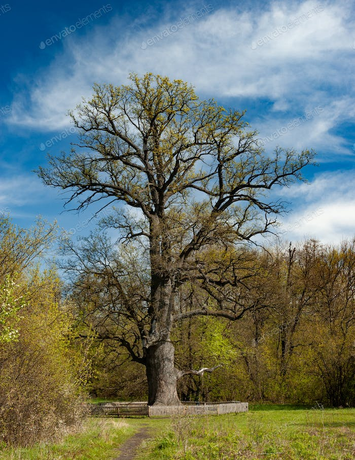Beautiful old tall deciduous tree blue sky and white clouds