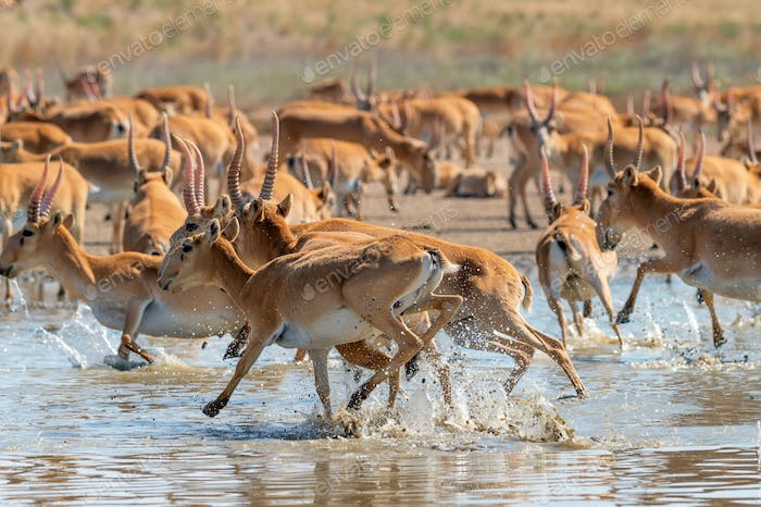 A herd of saigas gallops at a watering place