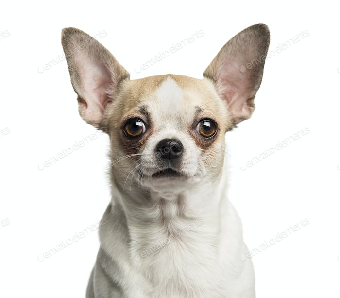 Close-up of a Chihuahua (2 years old) looking at the camera, isolated on white