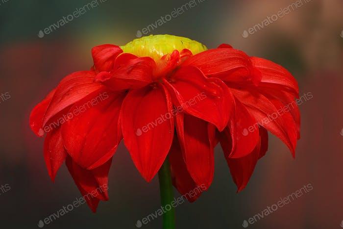 Red Dahlia Blume