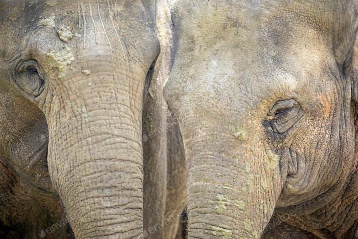 Asian Elephants close-up portrait