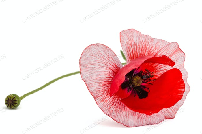 The flower of a poppy with unusual coloring of petalsisolated on