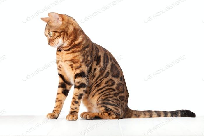 Bengalkatze sitzend auf weißem Holzboden
