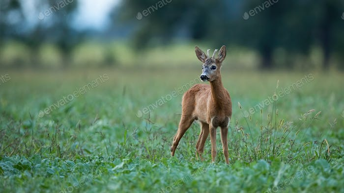 Young roe deer buck standing on a agricultural field at dusk in summer