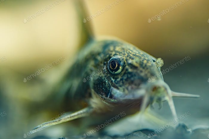 Small catfish Corydoras frontal closeup with blurred natural background.