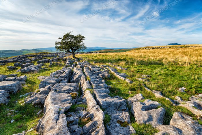 A windswept Hawthorn tree growing on a limestone pavement in the
