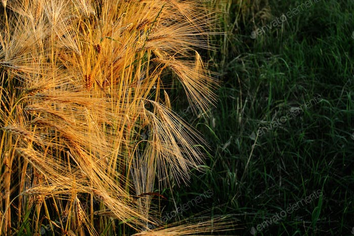 beautiful rye wheat field in amazing sunshine moment in summer evening