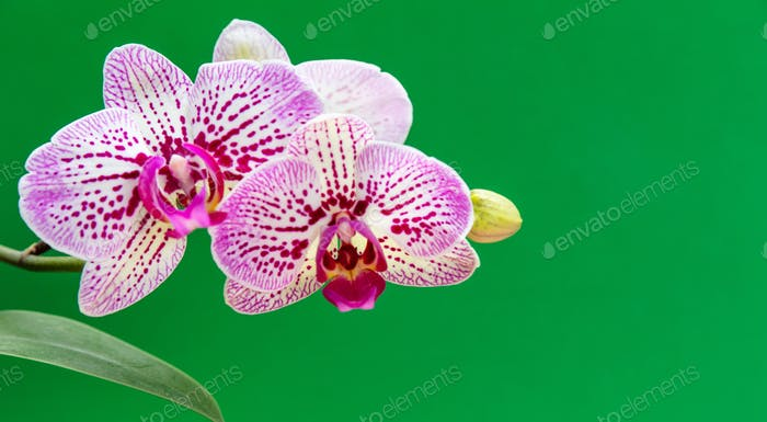 Orchids flowers purple white color closeup on green