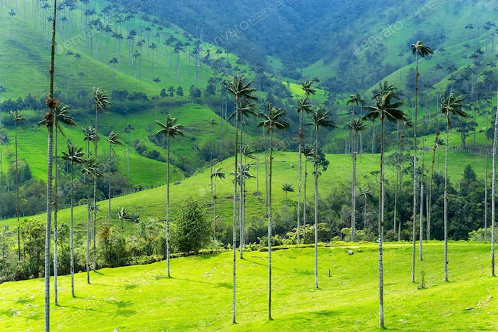Landscape of Wax Palm Trees