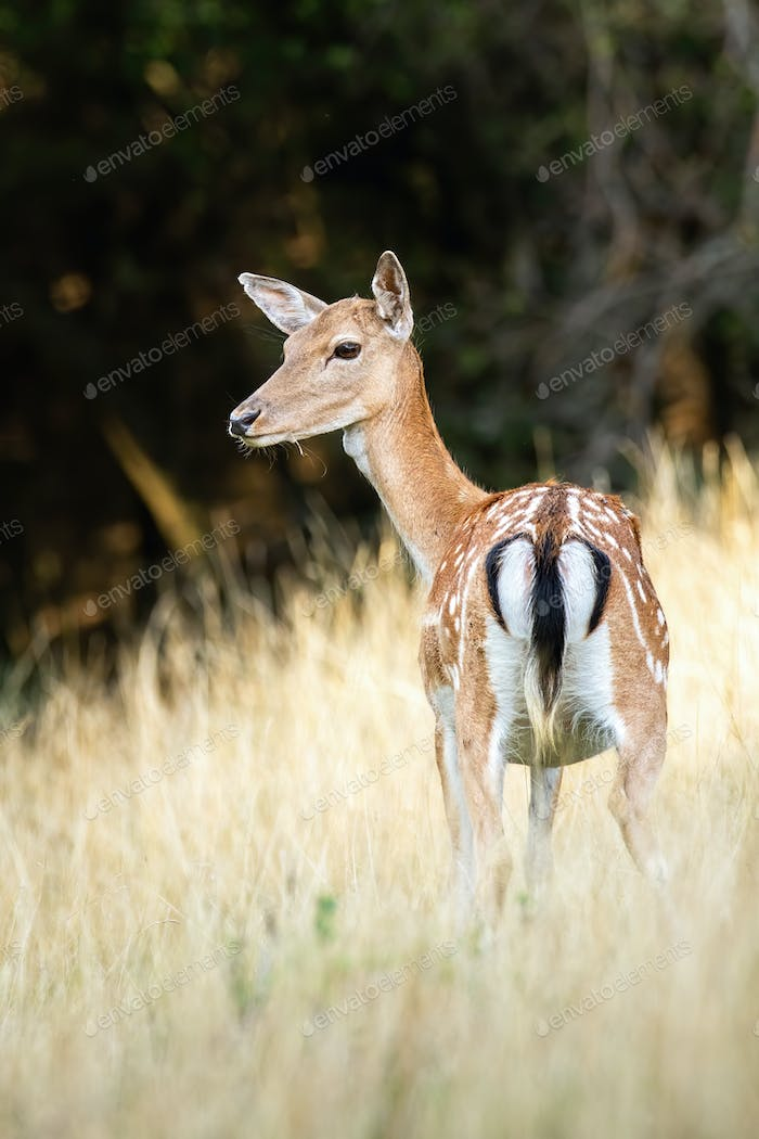 Female fallow deer with black tail standing on a grassy meadow from behind