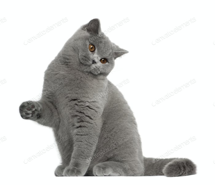 British Shorthair cat, 5 months old, sitting in front of white background