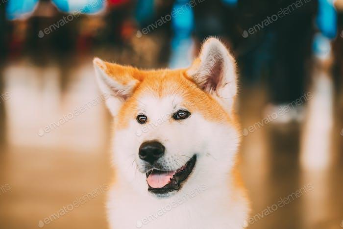 Akita Hund (Akita Inu, Japanische Akita) Nahaufnahme Porträt