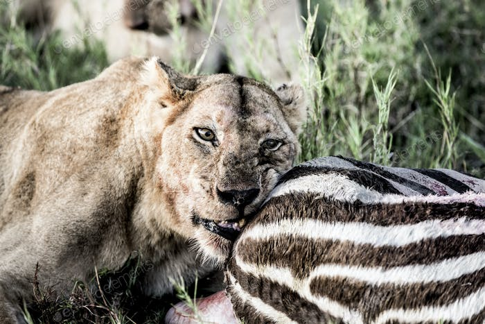 Женский лев ест зебру в Национальном парке Серенгети