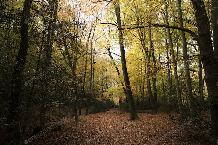 Burnham Beeches, UK - 7 November 2016: Dense Woodland At Burnham Beeches In Buckinghamshire