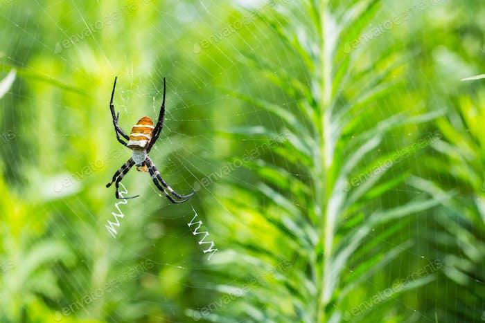 araña avispa en la web