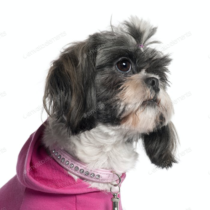 Close-up of Shih Tzu in pink, 2 years old, in front of white background