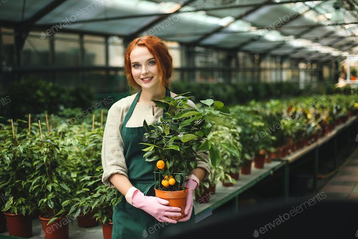 Cute smiling lady in apron and pink gloves standing with little mandarin tree in pot in greenhouse