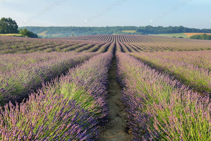 Lavender field in Puimoisson, Provence, France
