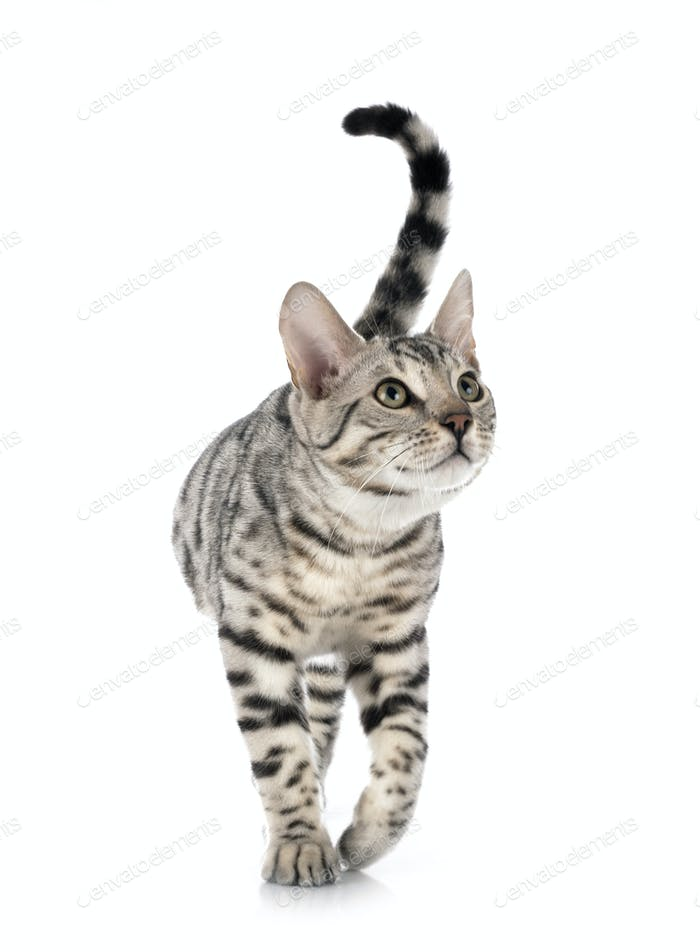bengal cat in studio