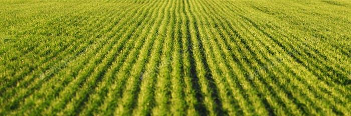 Grüne Weizenreihen und Wellen der landwirtschaftlichen Felder