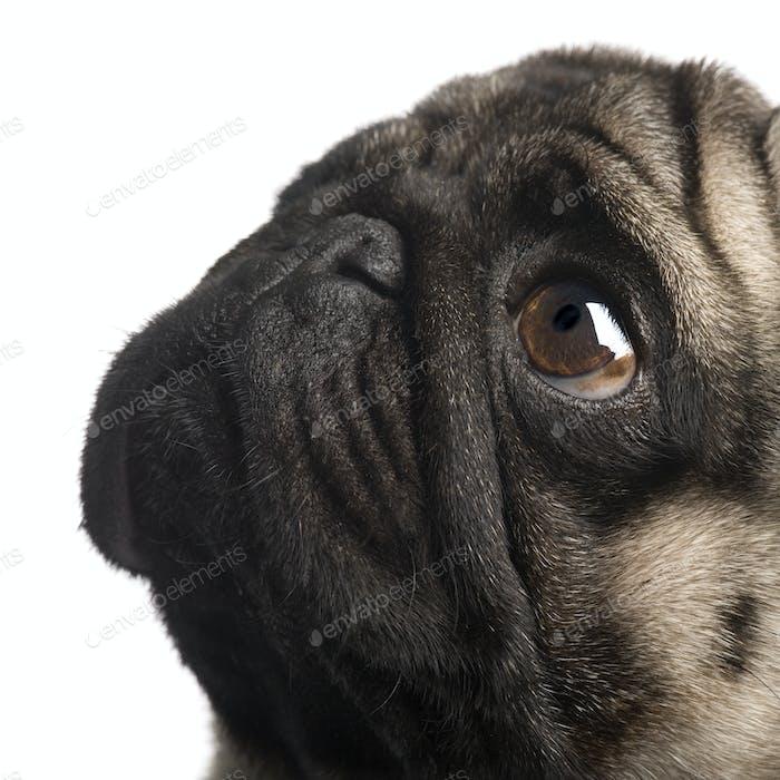 pug (4 years)