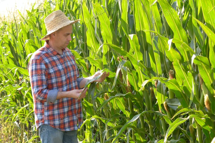 Farmer in straw hat inspecting corn with green field at backgrou