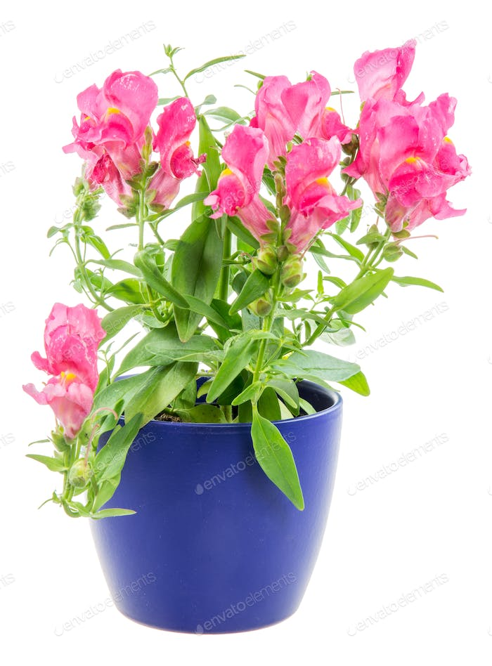 Isolated potted blue Antirrhinum flower