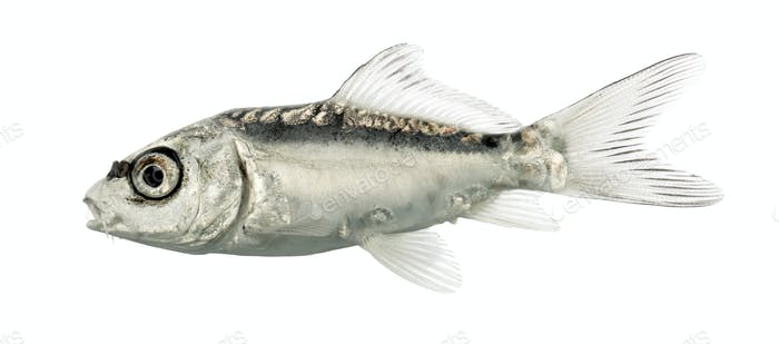 Side view of a grey koi isolated on white