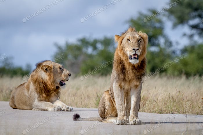 Two male Lion brothers in the high grass.