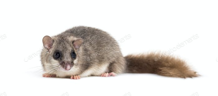 Edible Dormouse or Fat Dormouse, Glis glis, in front of white background