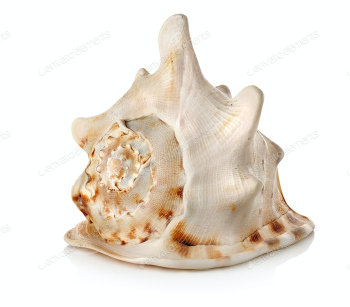 Big seashell isolated