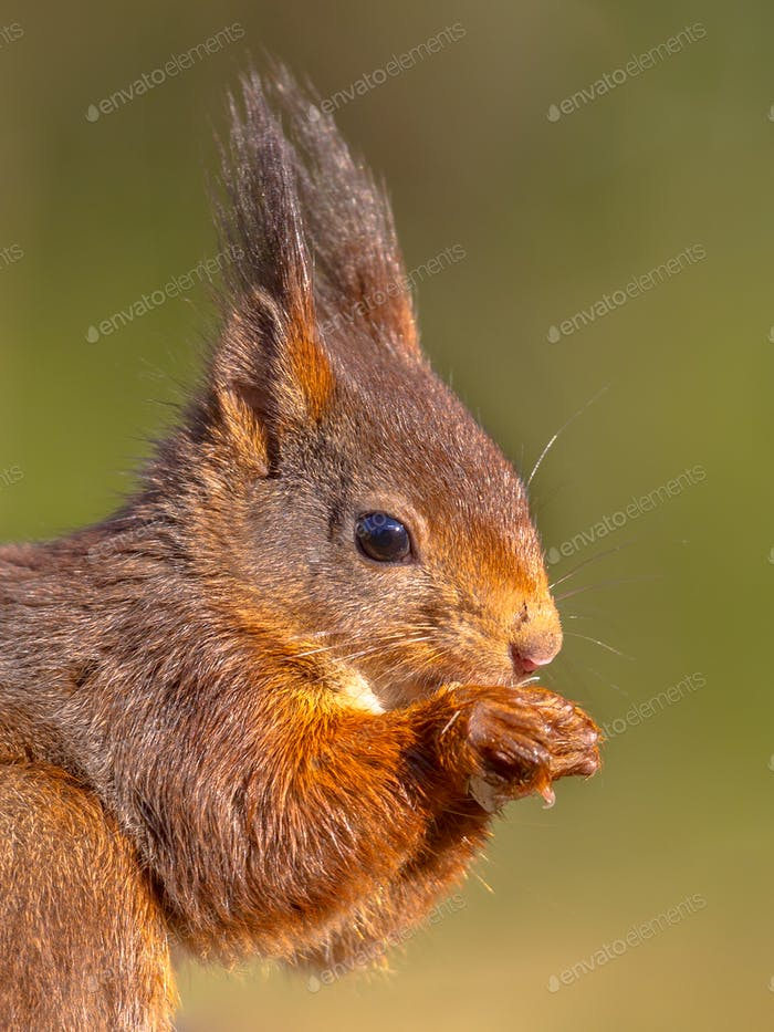 Nahaufnahme Porträt von Red Eichhörnchen Blick auf Kamera auf grün bac