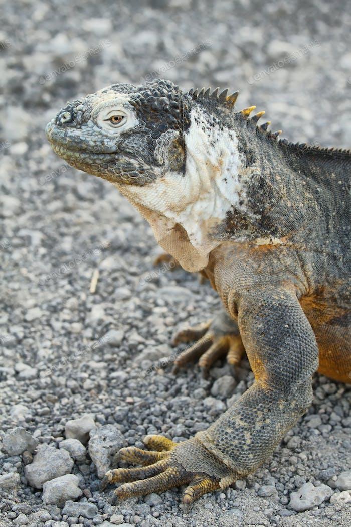 Wildland Leguan
