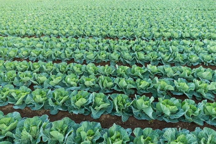 Organic vegetable field