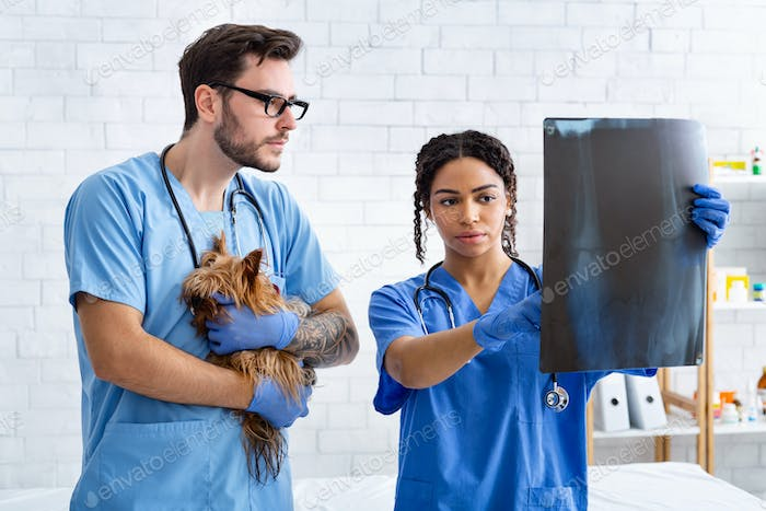 Veterinary doctor with assistant and little patient examining xray in animal hospital